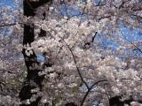 Sakura overload inTokyo!