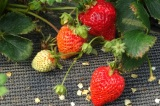 Strawberry-picking in Itoshima